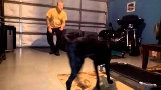 Black Lab Puppy Communication Through Remote Collar Ted Carlson Dog Training
