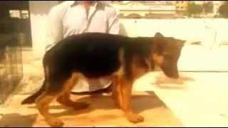 Top Show Quality Gsd Puppy Video