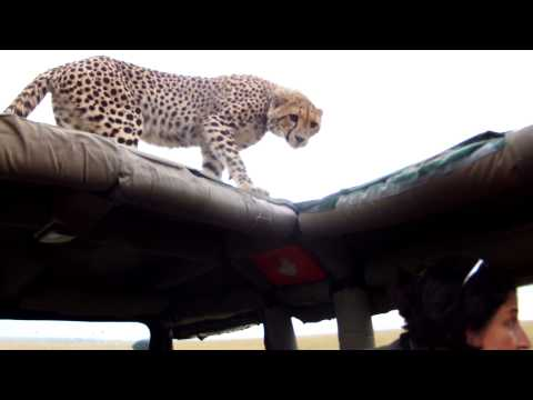 WILD Hissing Cheetahs on our Jeep!