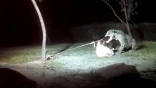 Leopard attacks Goat