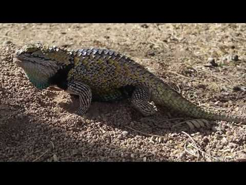 Male Desert Spiny Lizards Displaying Then Fighting !