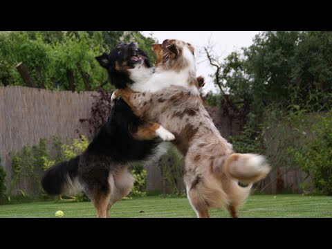 German Shepherd VS Australian Shepherd