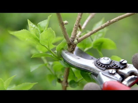 Gardening Advice: Pruning Spring Flowering Shrubs
