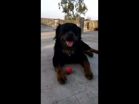 Long Hair Rottweiler And Very Big Size Rottweiler Youtube