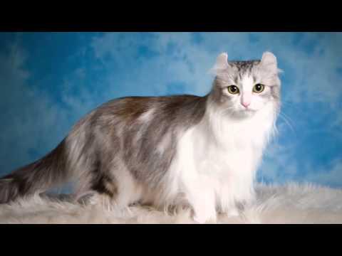 Beautiful photos of cat breeds American Curl