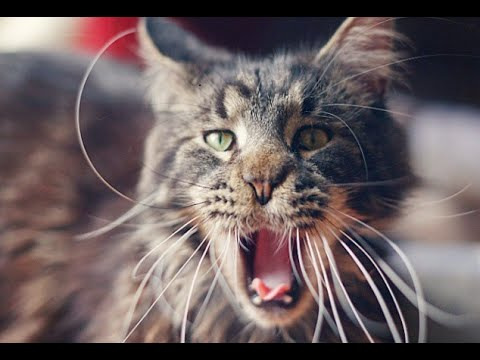 Maine Coon cat growlin...