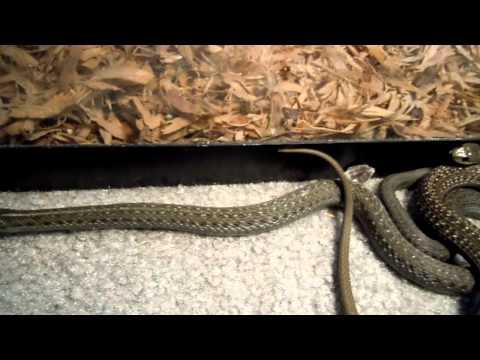 [Full-Download] Garter-snake-eating-rat-pinky
