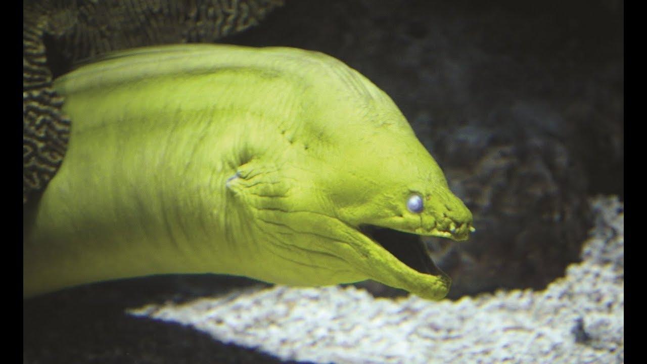 Green Moray Eel Megan Priede Sousa