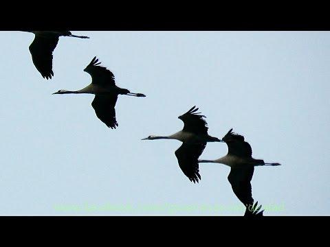 Kraanvogels trekken over
