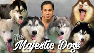 THE SIBERIAN HUSKY DOGS • WOOLY HUSKY • PINAKA MARAMING IMPORT STUD