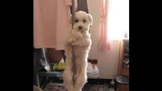 Собаки танцуют ))