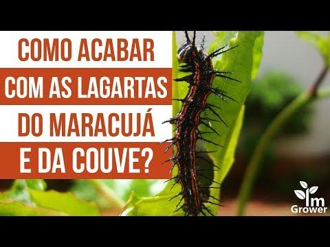 Como acabar com as lagartas do maracujá e da couve?