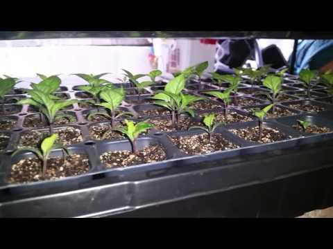 Carolina Reaper Seed Start - Update #4