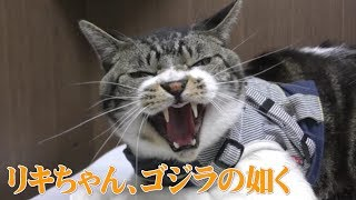 動物病院ではゴジラに変身☆激おこ猫リキちゃん☆テンパってワンって鳴いちゃった!?威嚇する猫【リキちゃんねる 猫動画】Cat videos キジトラ猫との暮らし