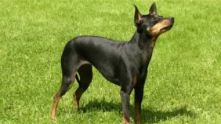 English Toy Terrier  small dog breed