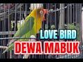 Love Bird Dewa Mabuk Beraksi Murai Batu Alpacino  Mp3 - Mp4 Download