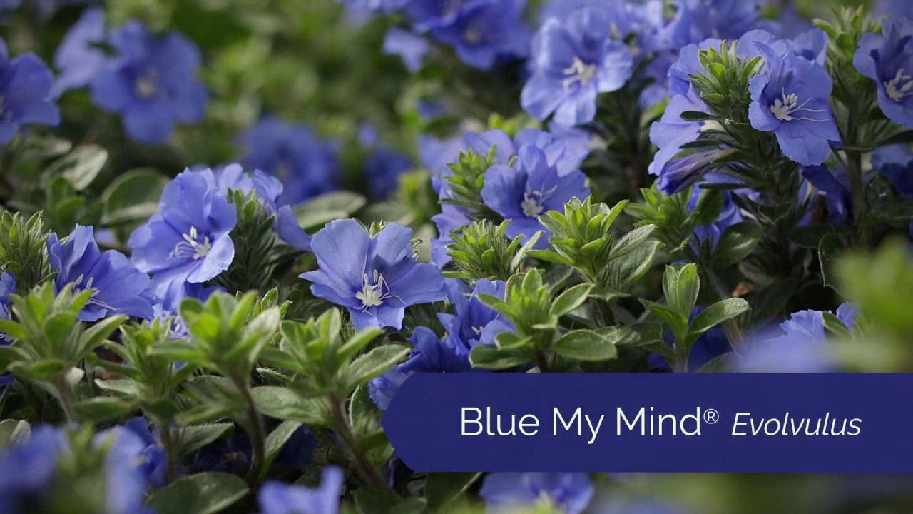 Blue My Mind Evolvulus From Proven Winners Youtube