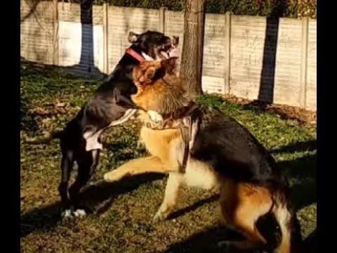Il Cane Piu Forte Funnydogtv