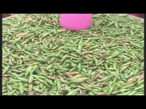 Grasshoppers/ Nseenene traders in Uganda reap big
