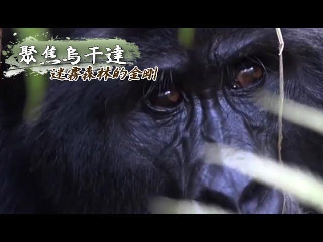 迷霧森林的金剛 聚焦烏干達《聚焦全世界》第32期
