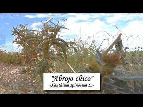 «Abrojo Chico -Xanthium