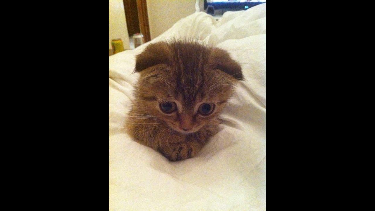 Youtube Cat Eye Tutorial: Scottish Fold Kitten Cat Vaccination