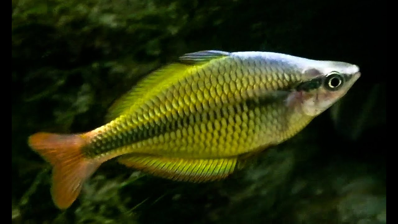 yellow banded rainbow fish up close youtube