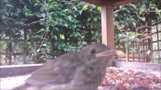 Bird Table - Various Garden Birds HD