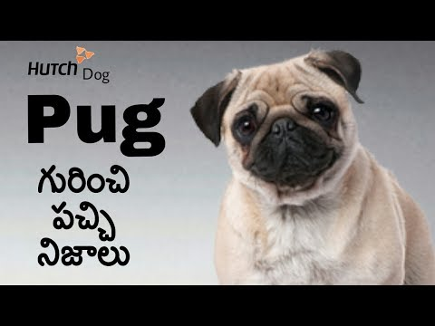 Pug Dog Facts in Telugu | Popular Breed Dog | Taju logics