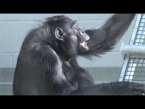 A day in the life of Matata, Great Ape Trust bonobo matriarch