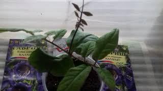 видео Кобея - выращивание из семян
