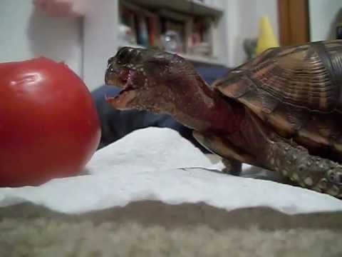 Turtle Epically Eating Tomato