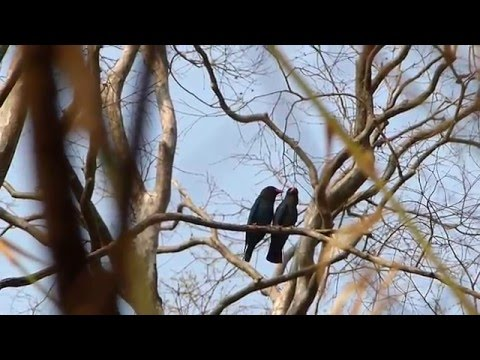 Dollarbirds mating (Eurystomus orientalis), Banlung.