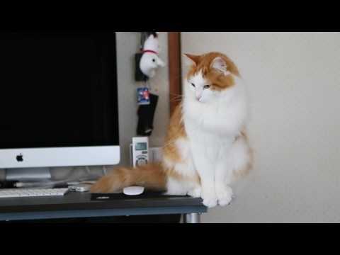 ほぼ置き物猫 Almost ornament cat【Norwegian Forest Cat Weegie 茶白猫ルーさん 白い猫サラ ノルウェージャンフォレストキャット 】