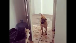 Кот выгоняет собаку)))