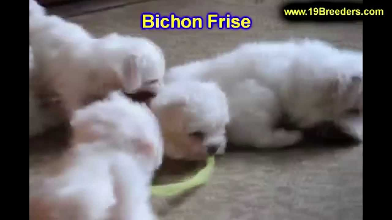 Bichon Frise, Puppies, Dogs, For Sale, In New Orleans, Louisiana, LA,  19Breeders, Metairie, Kenner
