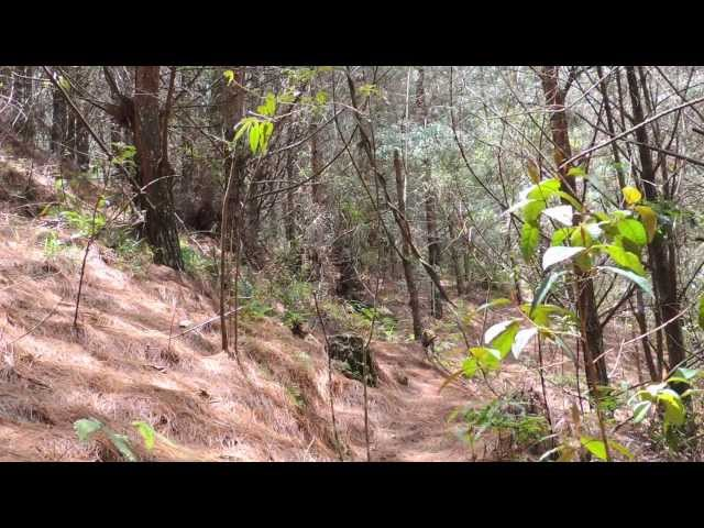 #1635, Interior de bosque de pinos con viento [Raw], Naturaleza Videos De Viajes