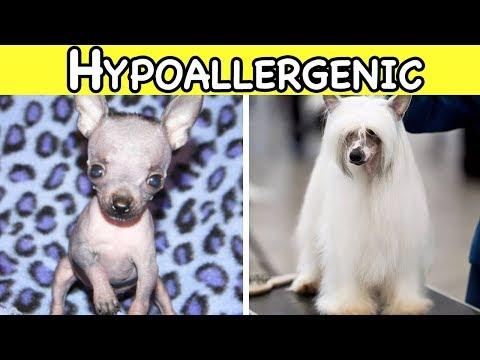 THE BEST HYPOALLERGENIC DOG BREEDS