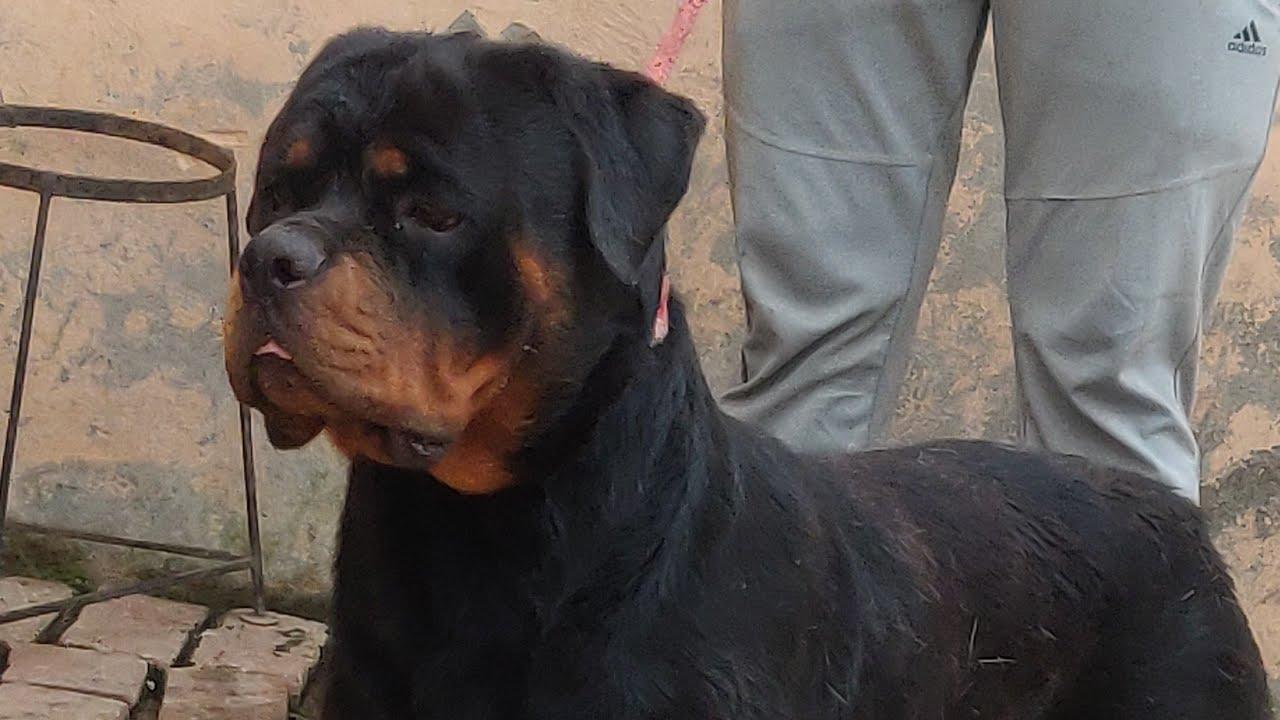 द ल म ड ग क मत Dog Price List In Delhi India Indian Rus 7404011122