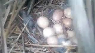 اكتشاف عش الحجلة قريبا من المنحل و بداخله 13 بيضة... من أرشيفي