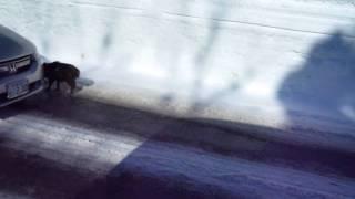 雪の壁にパニック状態のイノシシは道路を時速25キロで爆走、対向車は急停...