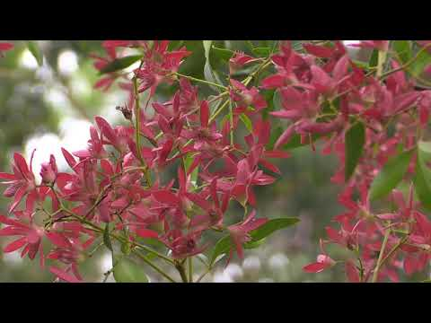 NSW Christmas Bush 'Red Red Red'