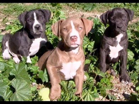 Rosies's pups growing up in my foster home
