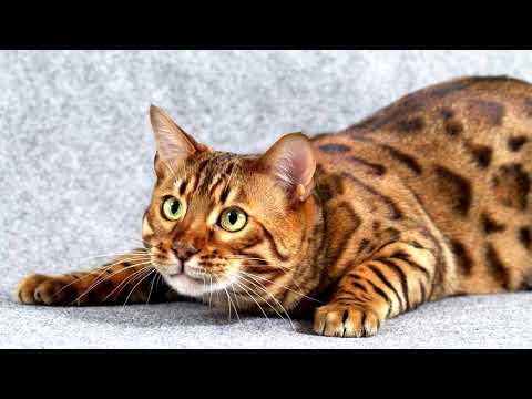 Bengal Cat - Facts, Characteristics, Tips - EAC