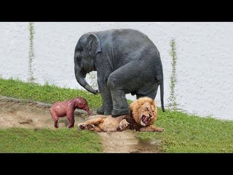 Leones Para Atraer Al Bebé Elefante, Madre Elefante Intrépida Que Intenta Salvar