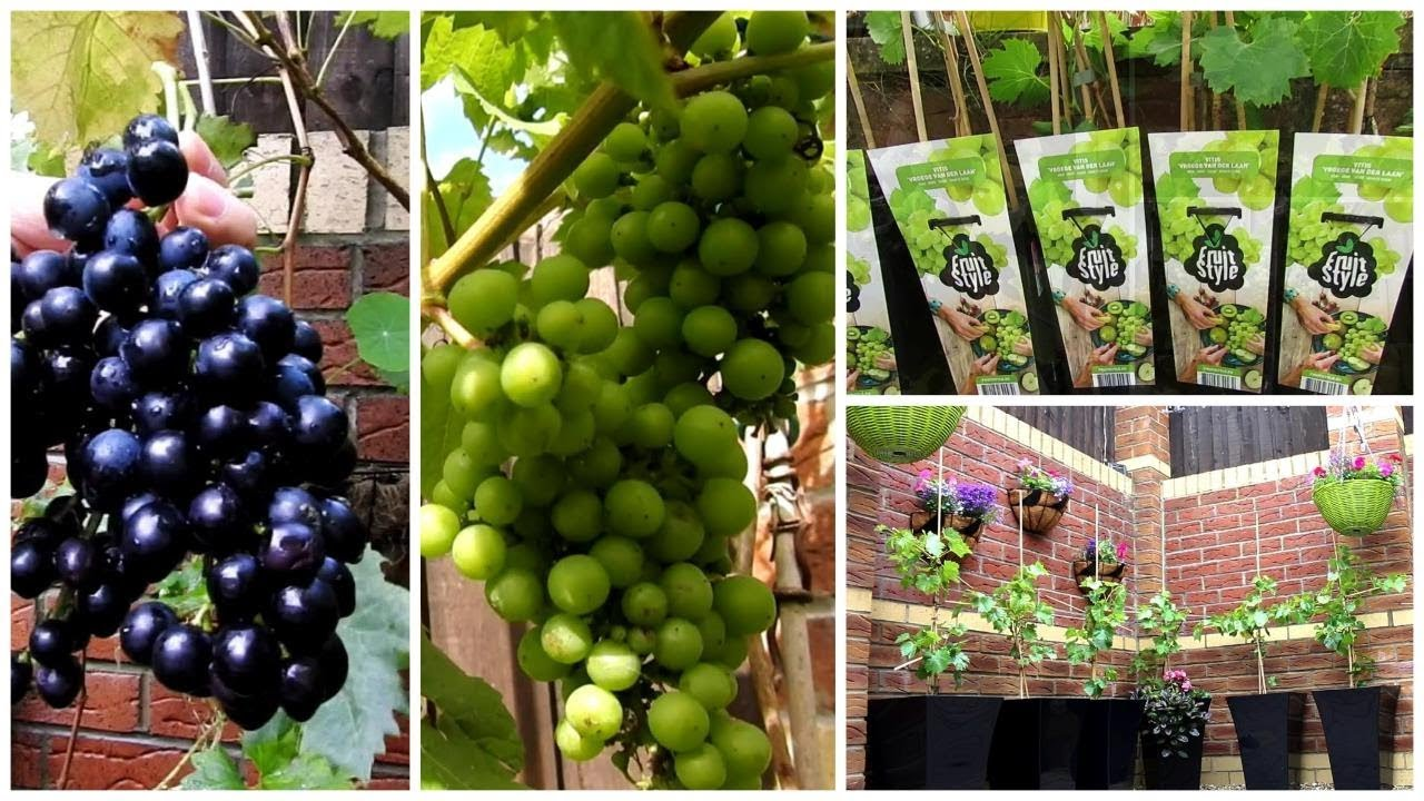 How To Grow Grapes In Your Garden - Grow Grapes in a pot ...