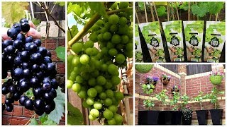 How To Grow Grapes In Your Garden - Grow Grapes in a pot