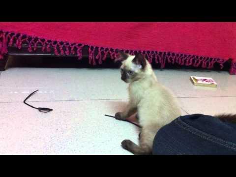 Balinese kitten Bella