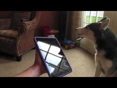 Husky Dog Sings With Ipad Better Than Bieber Now On Itunes Clip Hai Clip Hai Cliphai Com