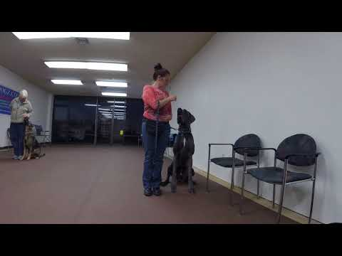 Heather and her Great Dane working on AKC heeling.
